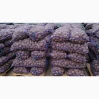 Продам оптом товарный картофель. Сорта: Лабелла, Эволюшн, Аризона