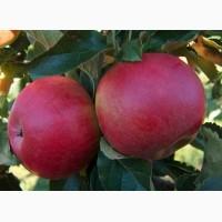 Флорина, Джонатан, Голден, Росавка - яблоки от производителя