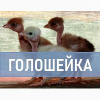 Голошейка. Яйцо для инкубации ЧЕРКАССЫ