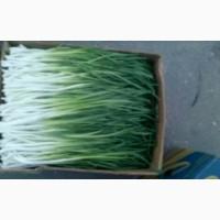 Продам зеленый лук з доставкой