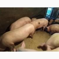 Продам свині живою вагою