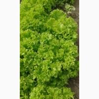 Продам салат Левистро