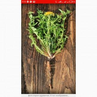 Закупаем корень одуванчика., лист, крапиву, пастушью сумку(грицики)сухой