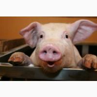 Продам свиню (кабана). 130-150 кг. Свинина, м#039;ясо, сало. ЕкоКовбаса