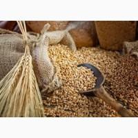 Закупаем Пшеницу по Днепропетровской обл от 100т с места а так же с доставкой