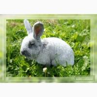 Кролики серый великан, серебристые, бабочка