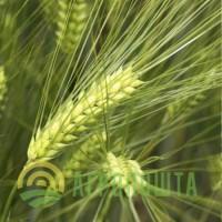 Організація закуповує великим оптом у виробника ячмінь по всій території України