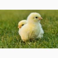 Продам суточных цыплят-бройлеров, мясо-яичных цыплят