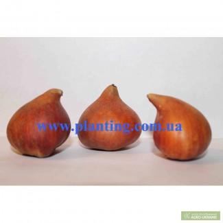Луковицы тюльпанов из Голландии оптом. Опт от 100 шт