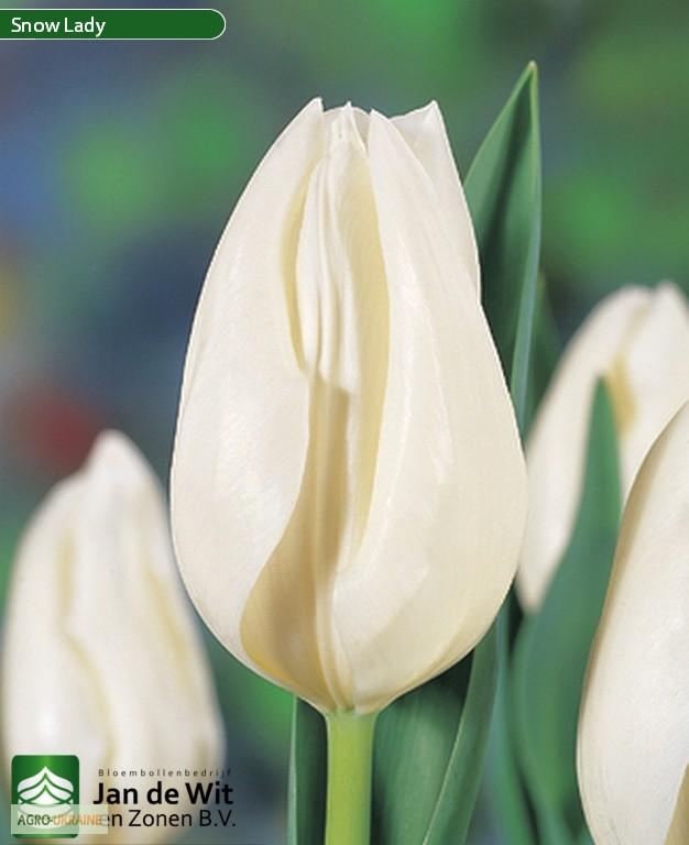 Купить луковицы тюльпанов желтая роза