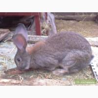 Продам кролей породы Серый и Белый Великан.