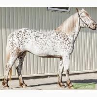 Породистая лошадь SOGNADOR, кватерхорс (четвертьмильная лошадь), кобыла