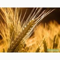 Семена посевной материал пшеница,ячмень