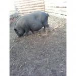 Срочно продам 2-х вьетнамских свиноматок.