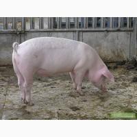 Продам дві свині годованих в домашніх умовах