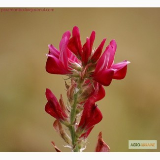 Продам семена Эспарцета, Одесская область, Измаил, крупным и мелким оптом
