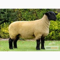 Барани, вівці, ягнята.Продажа породи Суффолк, Прекос