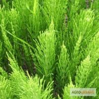 Трава полевой хвощ 50 грамм