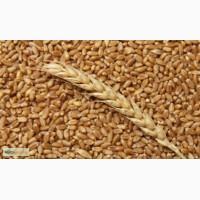 Куплю пшеницу фуражную в портах