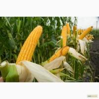 Семена кукурузы Монсанто 1800грн