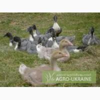 Утята, гусята и суточные цыплят бройлеры