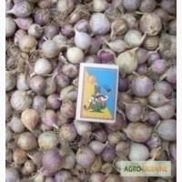 Продам семена озимого чеснока (воздушка, однозубка, зубок) сортов Любаша и Дюшес