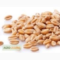 Пшениця: закупівля у великих об ємах по всій території України