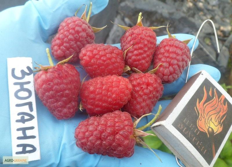 Малина зюгана описание сорта урожайность