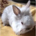 Продаю декоративні кролики