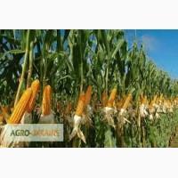 Посевной материал Кукуруза Манифик Оргинатор Семанс Франция Высокий потенциал урожайности