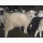 Продам Баранов овец ягнят бараны