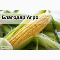 Купим кукурузу некондиционную (высокозерновую, испорченную)