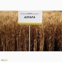 Семена озимой пшеницы - АНТАРА