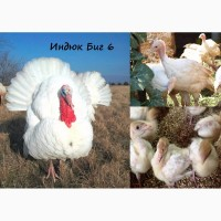 Геническ!!!Предлагаем лучшие породы бройлерных цыплят КОББ-500/РОСС-308 оптом и в розницу