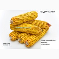 Семена кукурузы Тиадор - ФАО 360, гибрид F1, (Семанс Франция)