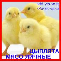 Цыплята суточные мясо-яичные мастер грей, ред бро, голошея (испанка)