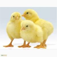 Продам цыплят бройлеров, КОББ, РОС, породы мясо яичко. Индюки, гуси, качки