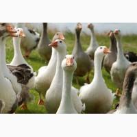 Комбікорм для качок та гусей ПК 22-2 (від 3 до 8 тижнів)