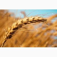 Продам семена пшеницы канадской сорта NOVELL (двуручка, урожай 2017 года) Харьковская обл