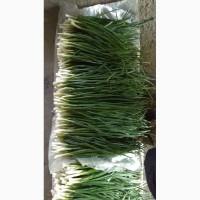 Продам зелень лука
