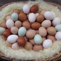 Инкубационное яйцо породы голубой фаворит
