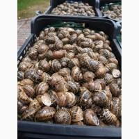 Продаем улитки Helix Aspersa Maxima для выращивания Литва