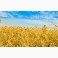 Крупно-Оптовая закупка С/Х продукции- Пшеница 2-4 класс