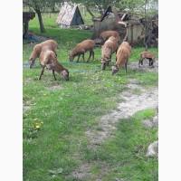 Продам вівці камерунські