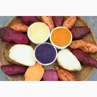 РАССАДА Батата полезнее и крупнее картофеля.Очень быстро растет.К осени- хороший урожай