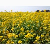 Семена рапса озимого ріпака ГРІМ стойкий к Нопасарану и Глифосату Раундапу ГМО
