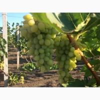 Продам виноград сорт Аркадия