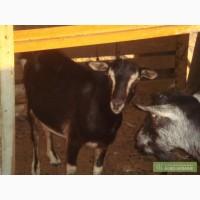 Продаются козы Тоггенбургской породы