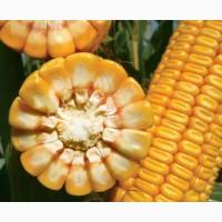 Семена кукуpузы ЛГ 30352 ФАО 340 (Lg 30352)