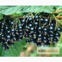 Саженцы черной смородины Тисел двухгодичние